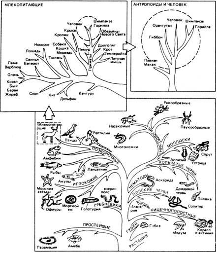 На рисунке 1 приведено генеалогическое дерево живого мира Земли, изображение схемы которого заимствовано из книги Ж...
